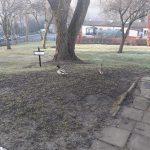 Po raz drugi teren posesji szkoły odwiedziła para zaprzyjaźnionych dzikich kaczek
